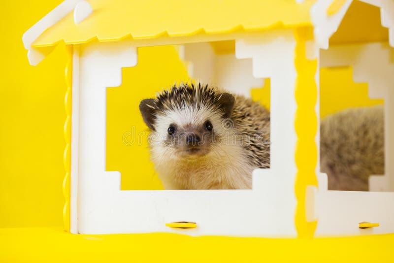 African dwarf hedgehog. cute little animal mortgage symbol stock photos