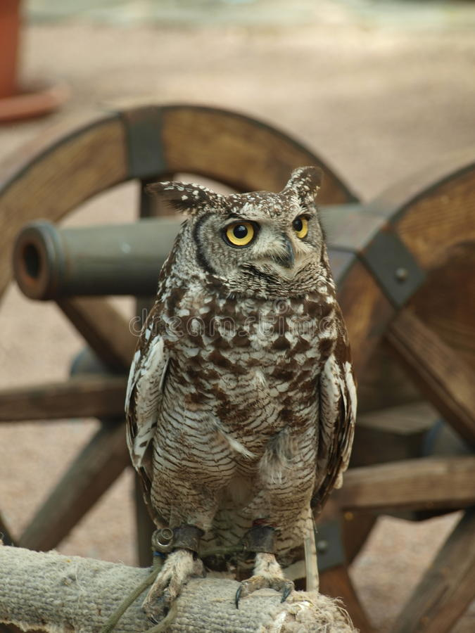 African eagle Owl stock images