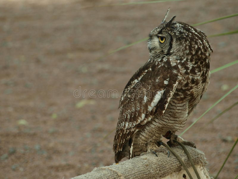African eagle Owl stock image