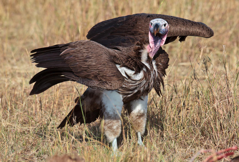 African eared vulture stands wings spread