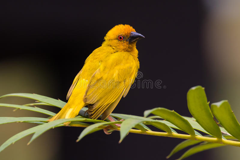 African Eastern Golden Weaver perched on a palm leaf. royalty free stock images