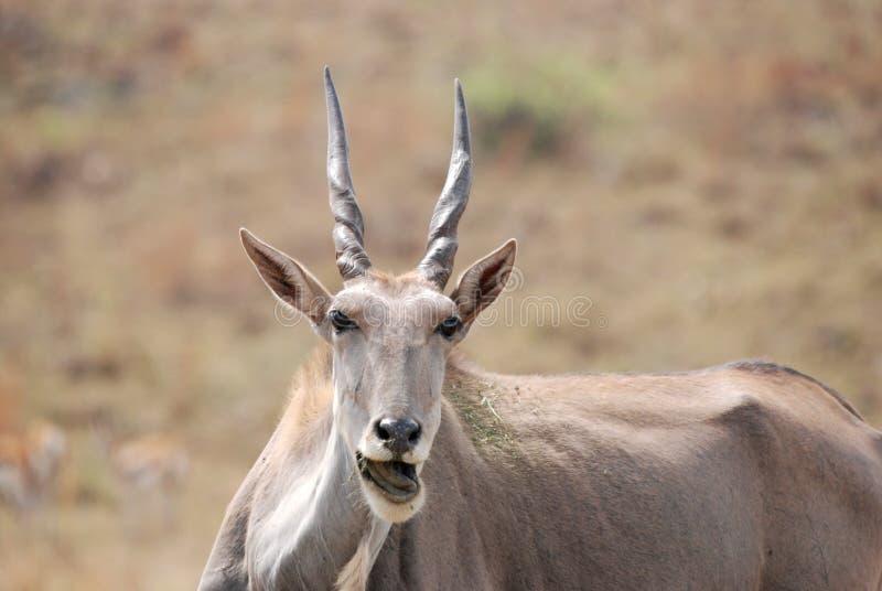 African Eland Antelope stock photos