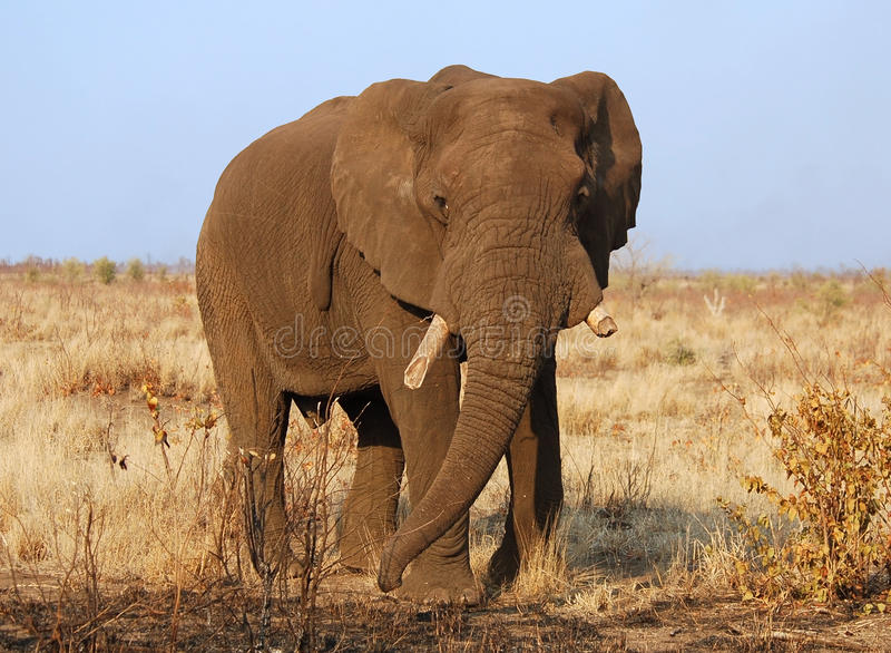 Download African Elephant stock photo. Image of body, endangered - 10121020