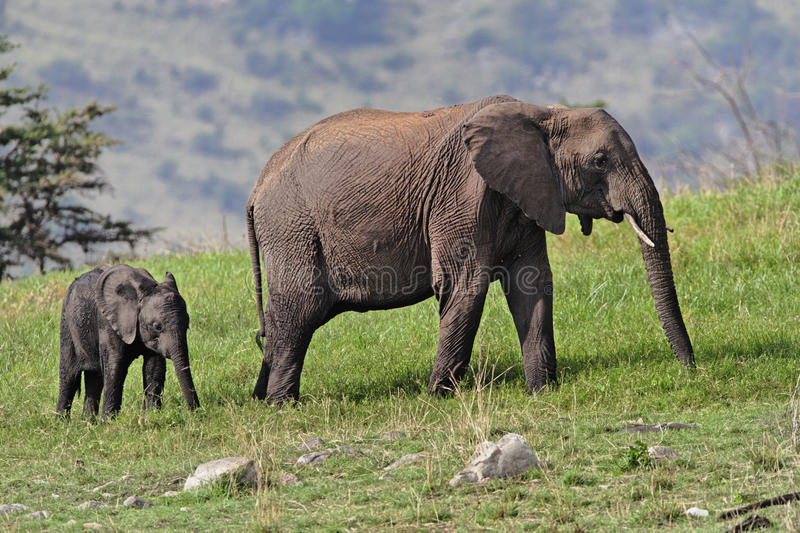 Download African Elephant Royalty Free Stock Images - Image: 11657119