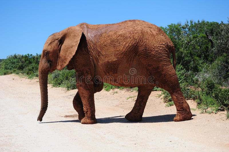 Download African elephant stock photo. Image of path, crossing - 18638412