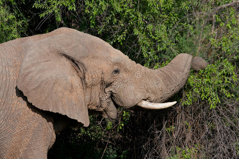 African Elephant. In Pilanesberg National Park, South Africa stock photography
