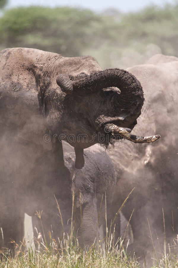 Download African Elephant Stock Photography - Image: 19645792