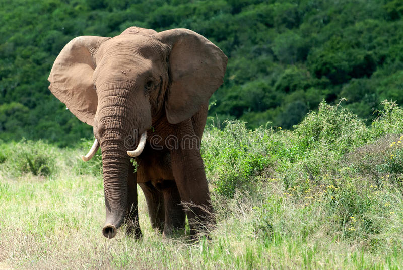 Download African elephant stock image. Image of alone, gray, african - 23507751