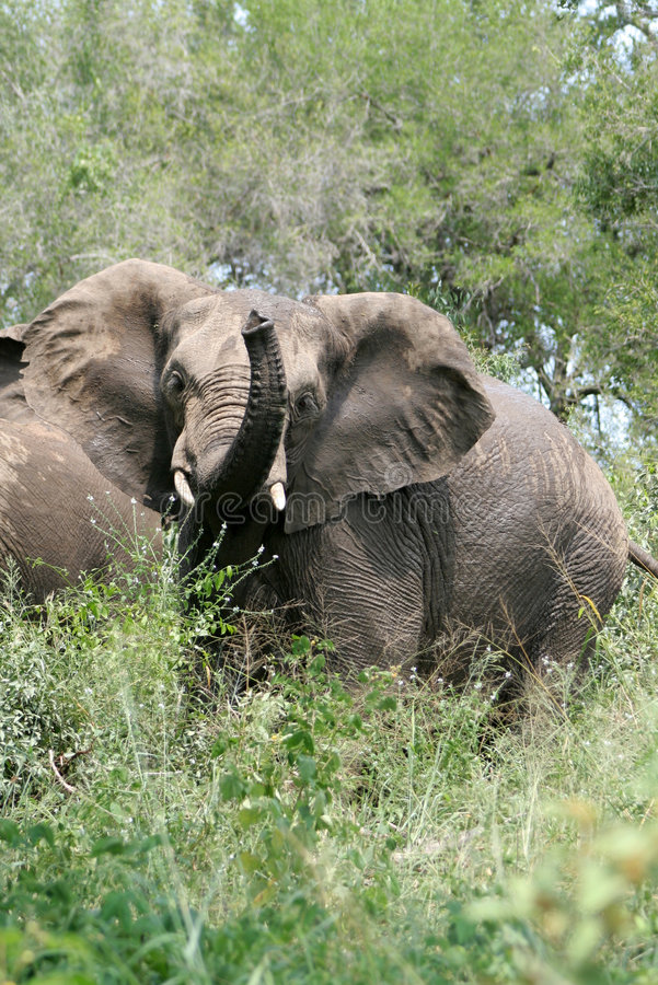 Download African Elephant stock image. Image of kruger, elephant - 4635509