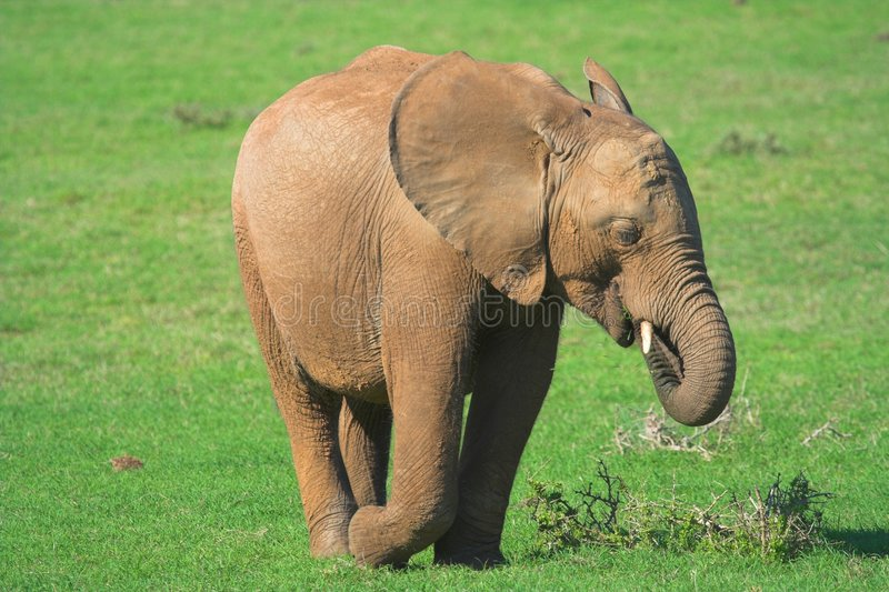 Download African Elephant Stock Image - Image: 632821