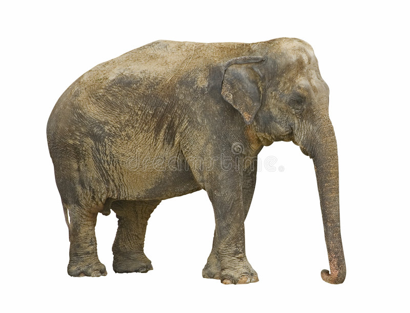 Download African elephant stock image. Image of strength, african - 6748275