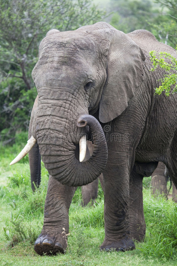 Download African elephant stock photo. Image of face, dangerous - 8813448