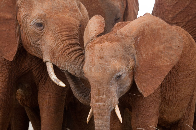 African elephant adolescents. Closeup of two young African elephants making contact stock photo