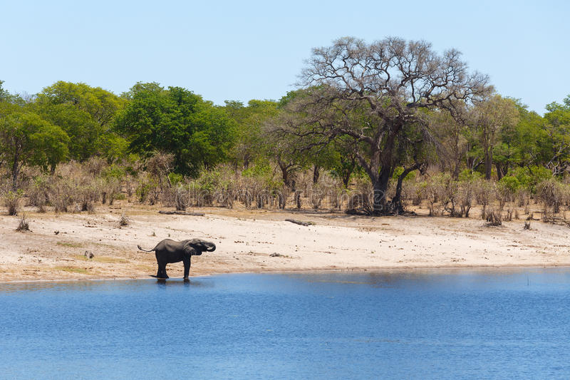 African elephant Africa safari wildlife and wilderness. African elephant, Loxodonta drinking on on small lagoon in landscape of Caprivi strip game park, Nambwa royalty free stock images