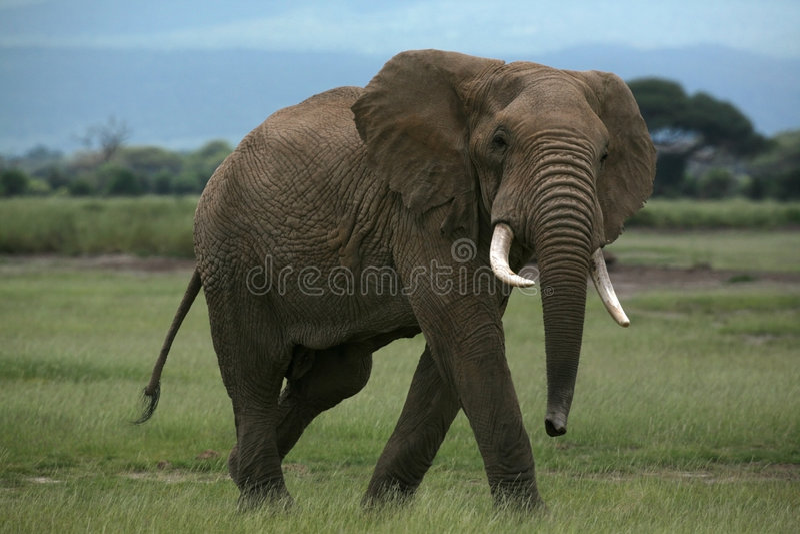 African elephant in Amboseli Kenya stock photography
