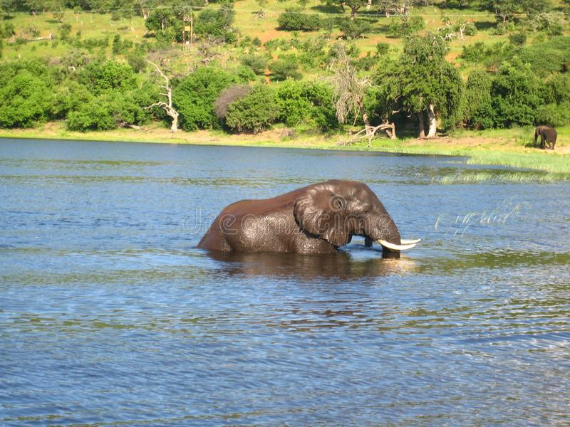African Elephant walking in river stock photography