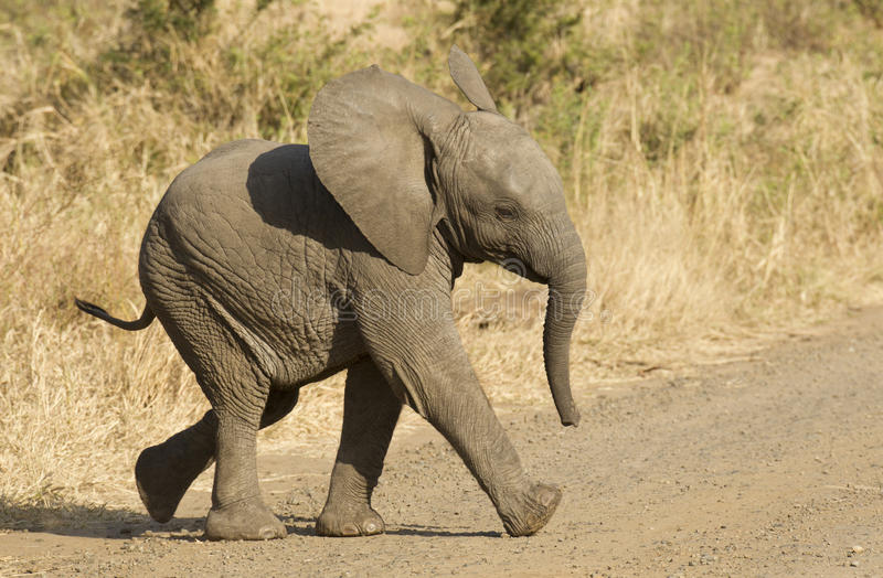 African elephant baby, South Africa royalty free stock images
