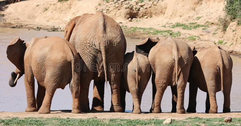 Download African Elephant Behinds stock photo. Image of backside - 11732428