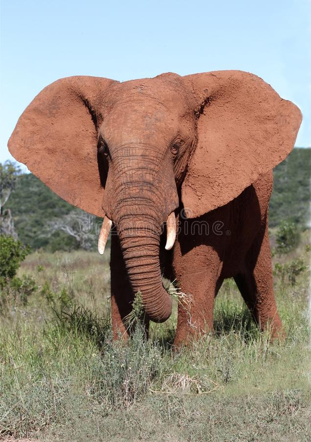 Download African Elephant Bull stock photo. Image of ivory, giant - 27886806