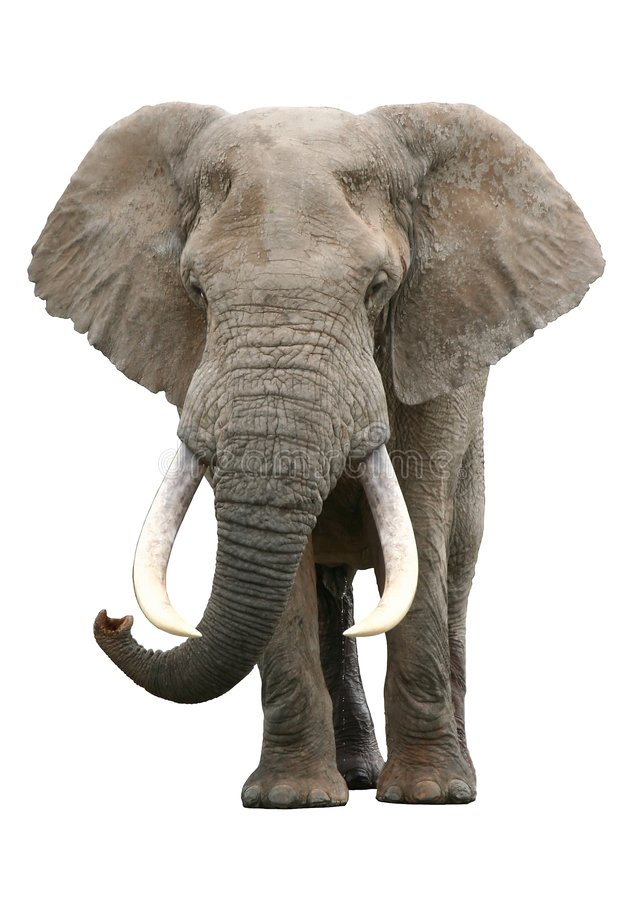 Free African Elephant Bull Stock Photos - 3549263