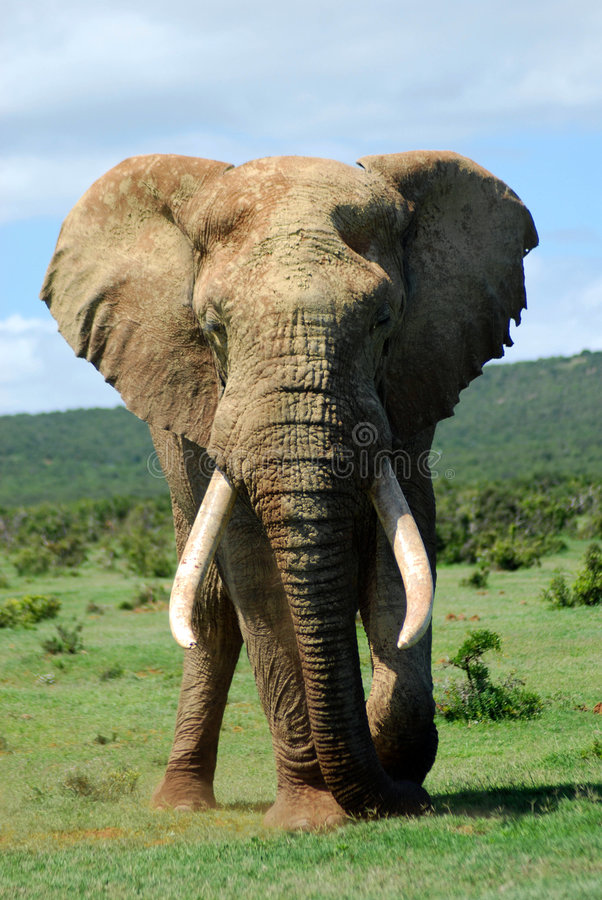 Free African Elephant Bull Royalty Free Stock Photography - 3999617