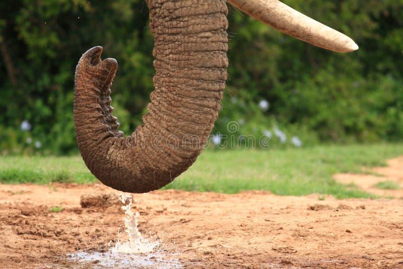 African Elephant Bull stock photography