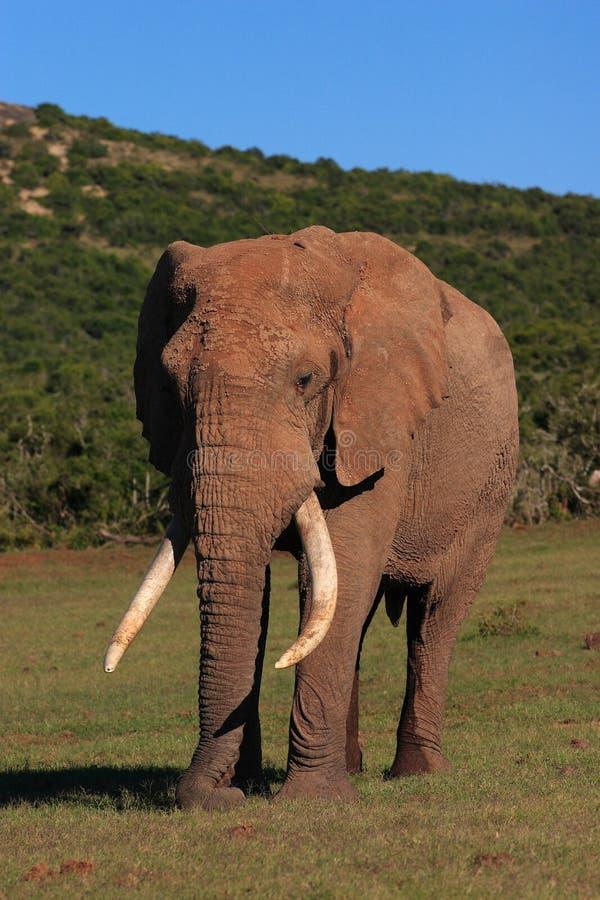 African Elephant Bull stock photos