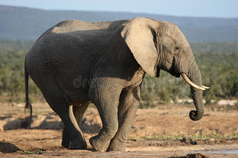 Download African Elephant Bull Drinking Water Stock Photo - Image: 16127160