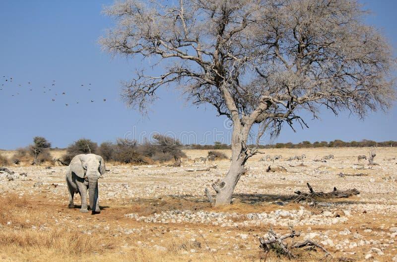 African elephant bull in Etosha Wildlife Reserve stock images