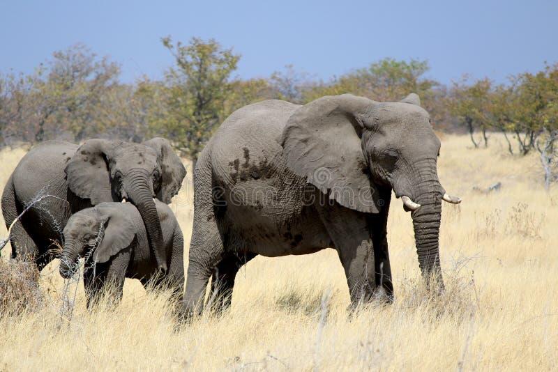 African elephant bull in Etosha Wildlife Reserve royalty free stock image