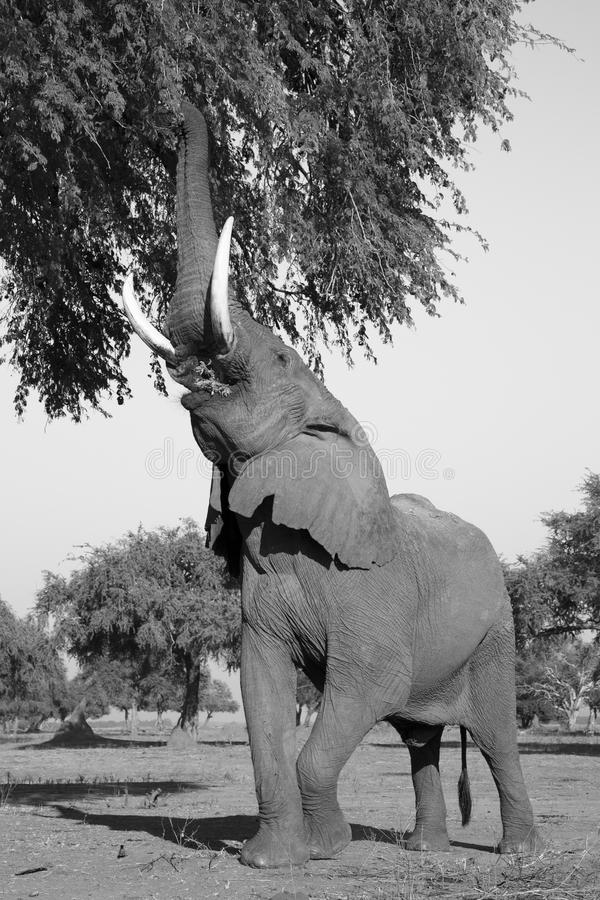 African Elephant bull (Loxodonta africana) reaching up to branch. Es of an Ana Tree (Faidherbia albida) black and white royalty free stock photos