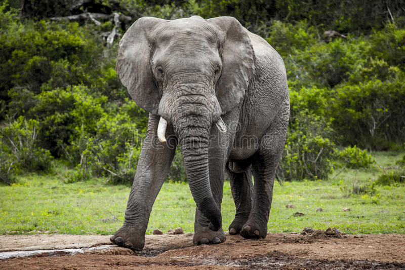 African elephant bull. stock images