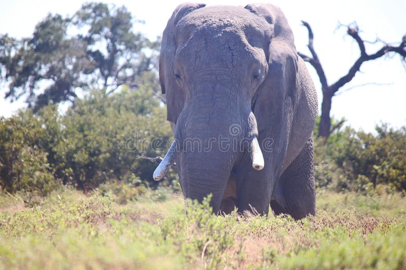AFRICAN ELEPHANT IN THE BUSH IN THE MIDDAY SUN royalty free stock photos