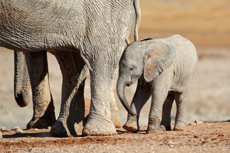 Download African elephant calf stock photo. Image of safari, namibia - 28869966