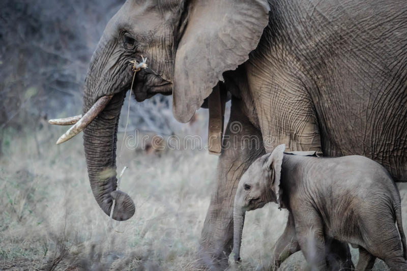 African Elephant With Calf Free Public Domain Cc0 Image