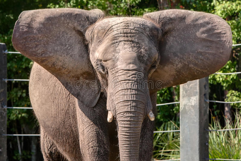 African Elephant in captivity stretching large ear. African Elephant in captivity with large stretching ears and shaved down tusks stock photos
