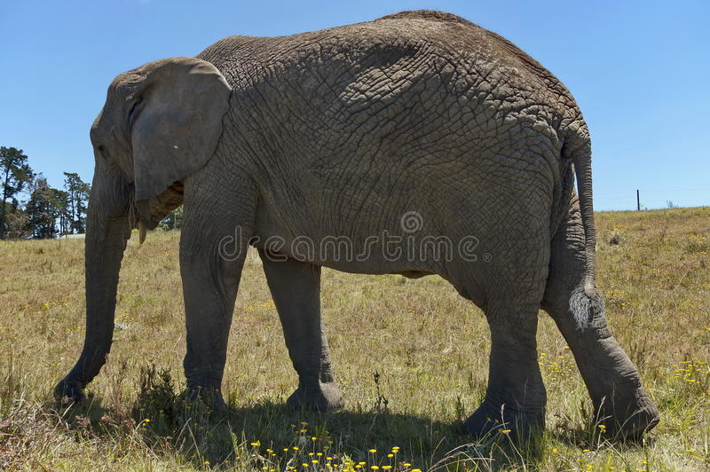 African elephant in Chapel & Lapa reserve royalty free stock photo