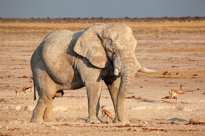 African elephant covered in mud stock photos