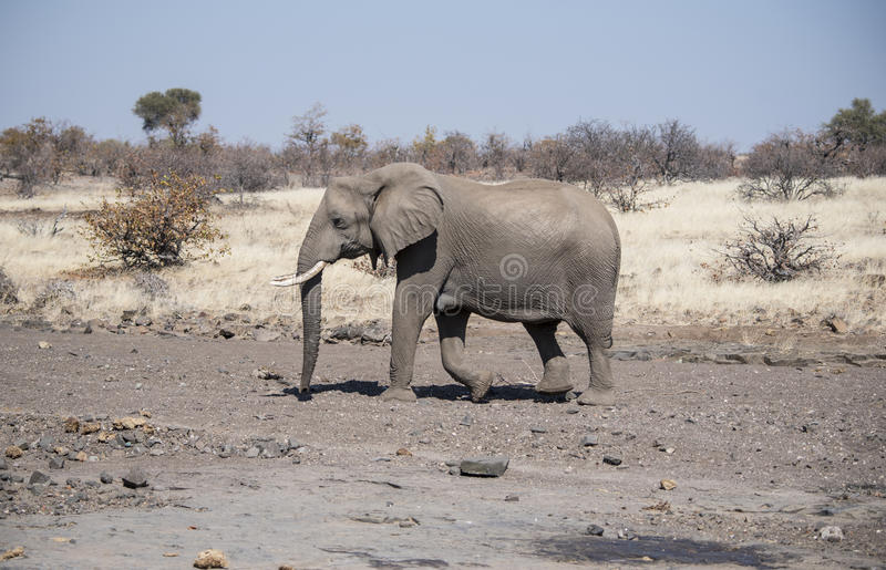 African Elephant Crosses a Dry River Bed royalty free stock photography