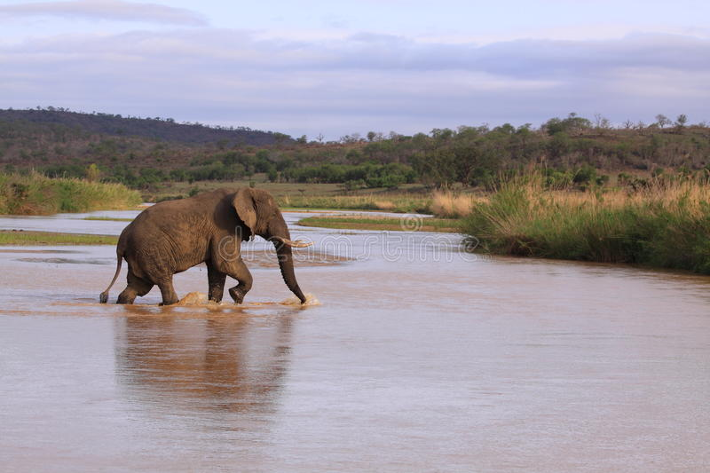 Adult african elephant crossing river safari game drive  stock photo