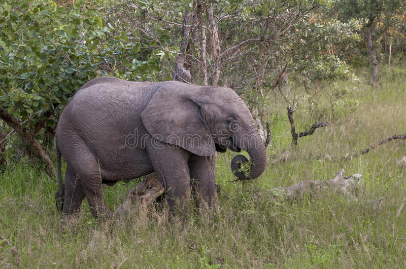 African Elephant Cub In South Africa Stock Photography