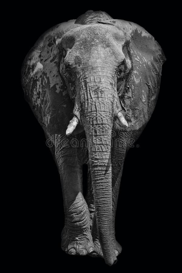 African elephant on dark background in black and white image stock images