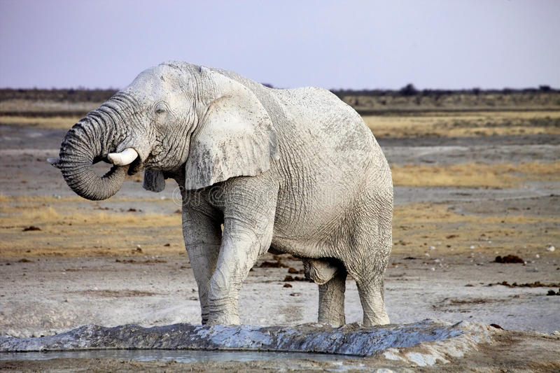African elephant from dirty white clay at waterhole,Etosha National Park, Namibia stock image