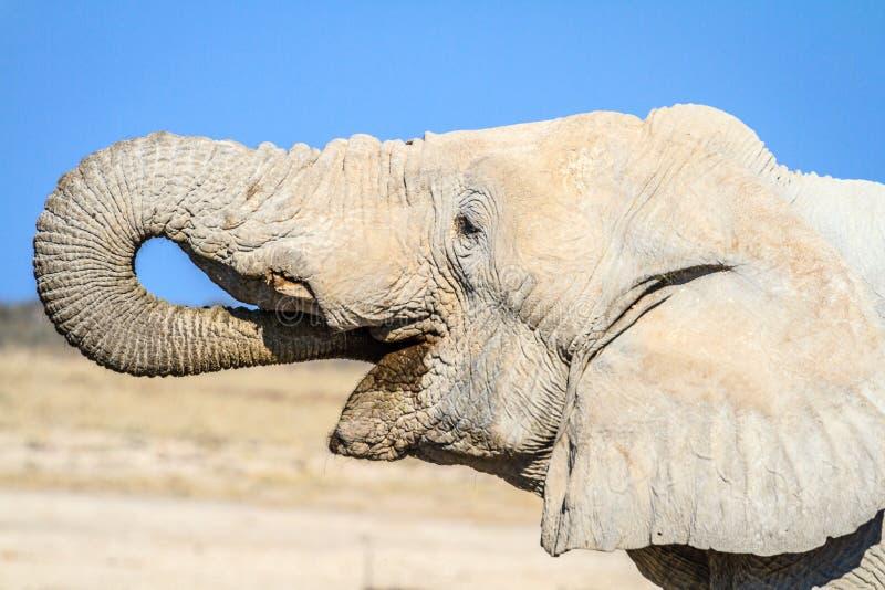 African elephant drinking in Etosha National Park, Namibia, Africa stock photo