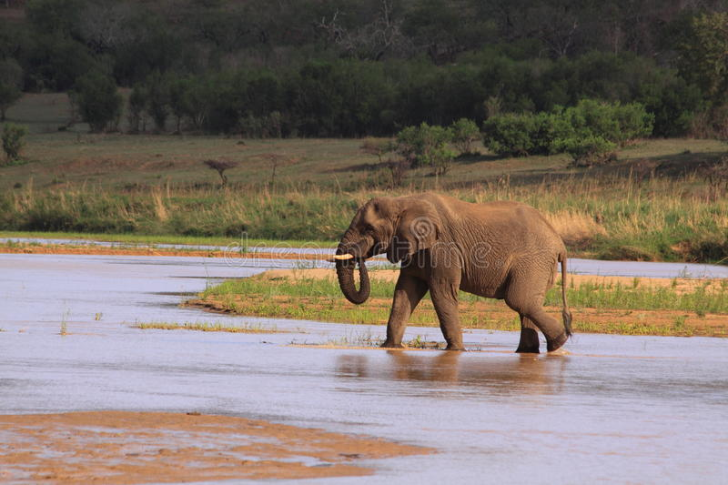Wild african elephant crossing and drinking river with trunk stock photos