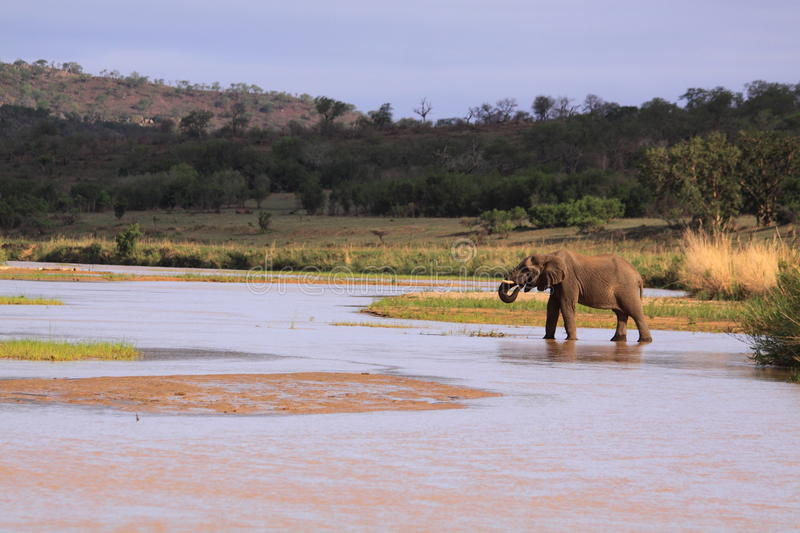 Wild african elephant crossing and drinking river with trunk stock photo
