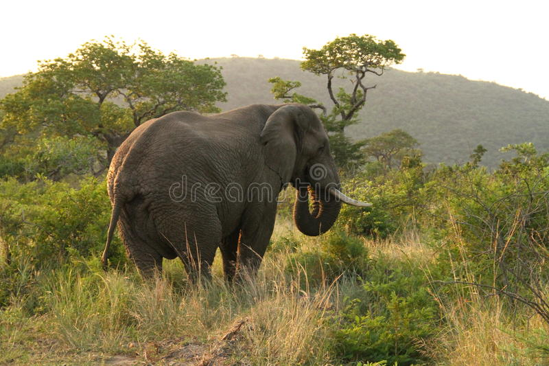 African elephant eating royalty free stock photo