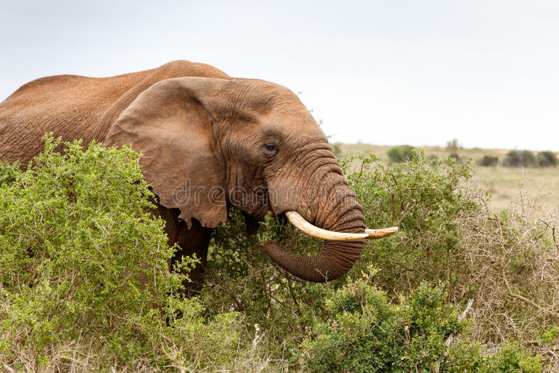 African Elephant eating a branch stock photography