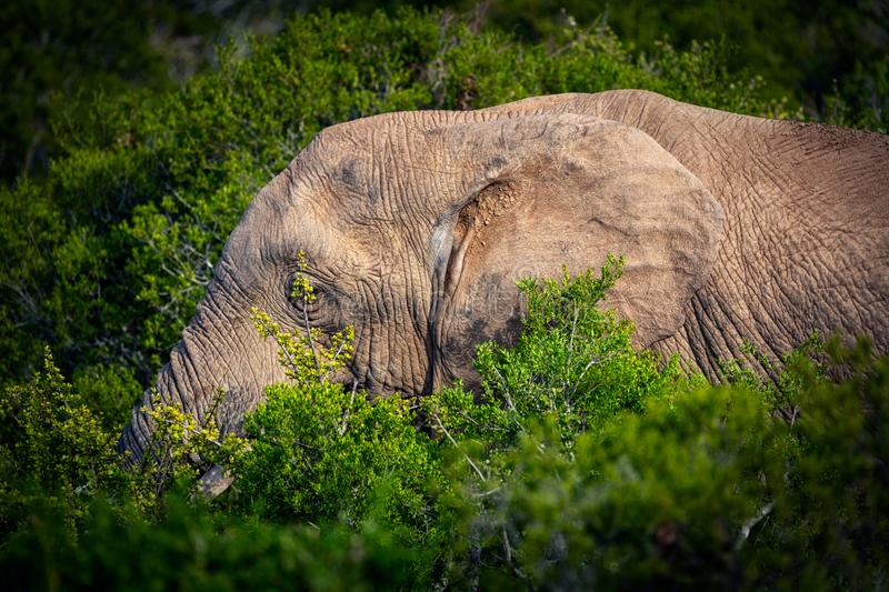 African elephant eating in bushes close up view in Addo National Park royalty free stock photos