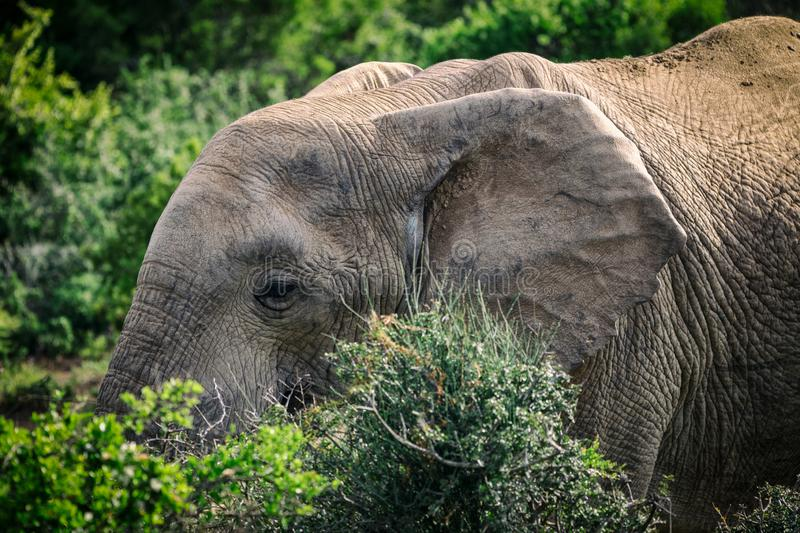 African elephant eating in bushes close up view in Addo National Park stock image